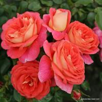 Роза Зоммерзонне