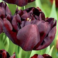 Тюльпан махровый ранний Пальмира 8 шт