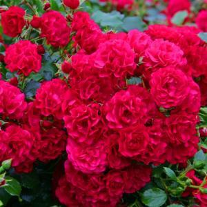 Роза почвопокровная Гарнерфройде