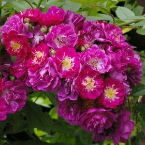 Роза плетистая  Перениал Блу