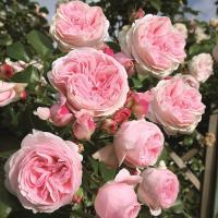 Роза плетистая Джиардина