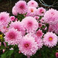 Хризантема корейская Английская розовая