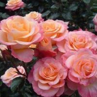 Роза Доктор Джо