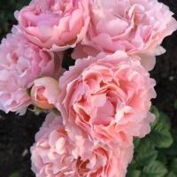 Роза Принцесс Шарлен де Монако