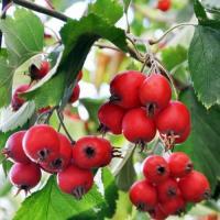 Боярышник (плоды) Нормализует ритм сердца, улучшает сон и общее состояние, снижает уровень холестерина в крови.