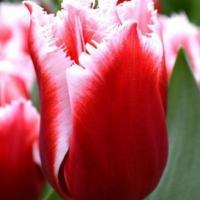 Тюльпан  бахромчатый Канаста 5 шт.