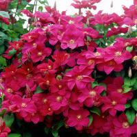 Клематис крупноцветковый Кардинал Руж