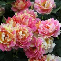 Роза Роз де Цистэрсьаен