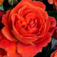 Роза Монинг Сан