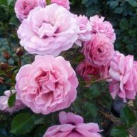 Роза Персиан Мистери
