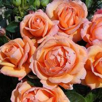 Роза Леди Мармелейд