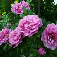 Роза Канадская Терез Бунье