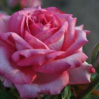 Роза Веддинг Беллс
