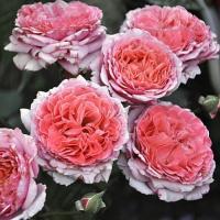 Роза Лоран Габроль