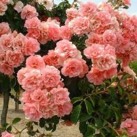 Роза Шусс