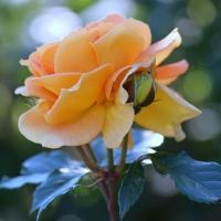 Роза чайная (лепестки) Источник магния и селена, замедляет процессы старения на клеточном уровне, хороший спазмолитик.