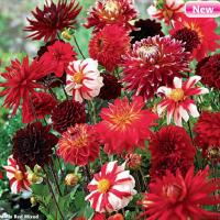 Dahlia Red Mixed 3 шт