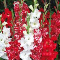 Gladiolus Peppermint Blend  16 шт