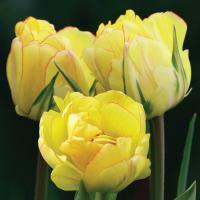 Тюльпан махровый поздний Акебоно 5 шт.