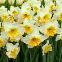 Нарцисс крупнокорончатый Айс Фоллис 5 шт.