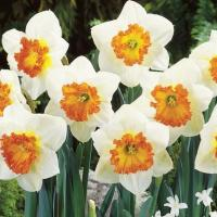 Нарцисс крупнокорончатый Семпре Аванти 5 шт.
