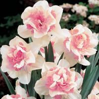 Нарцисс махровый  Риплит 5 шт