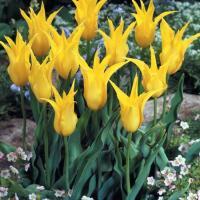 Тюльпан  лилиецветный Вест Поинт 4 шт.