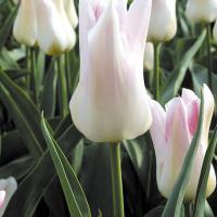 Тюльпан  лилиецветный Трэс Чик 4 шт.