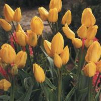 Тюльпан многоцветковый Мариентал 5 шт.