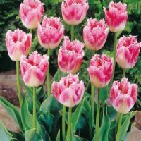 Тюльпан бахромчатый Фэнси Фрилс 5 шт.