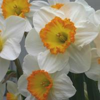 Нарцисс крупнокорончатый Флауэр Рекорд 3 шт.