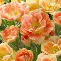 Тюльпан махровый поздний  Шарминг Бьюти 5 шт.