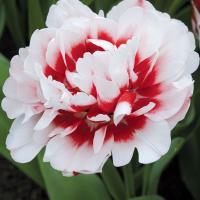 Тюльпан махровый поздний Хоризон  5 шт.