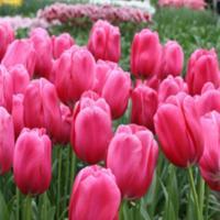 Тюльпан простой ранний Дон Кихот 5 шт