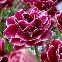 Тюльпан махровый поздний Дрим Тач 5 шт.