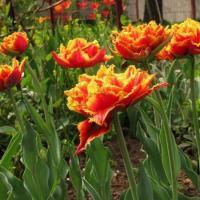 Тюльпан махровый бахромчатый Голд Даст 5  шт
