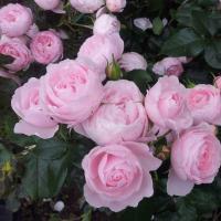 Роза Ханс Гоневейн Роуз