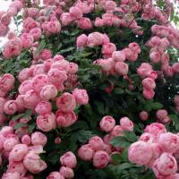 Роза плетистая Раубриттер