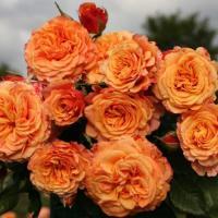 Роза Ла Витта Котта