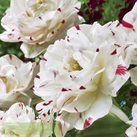 Тюльпан махровый поздний Данс Лайн 5 шт