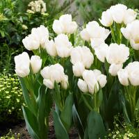 Тюльпан многоцветковый Вайс Берлинер 8 шт.