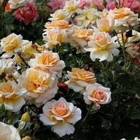 Роза Телетон ( Анжи)