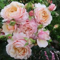 Роза Элизабет Стюарт