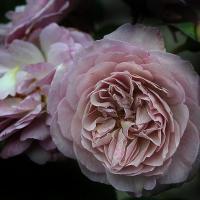 Роза Флоренс Делаттре