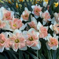 Нарцисс бабочковый Винилла Пич 3 шт