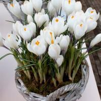 Крокус крупноцветковый Жанна Д'Арк 15 шт.