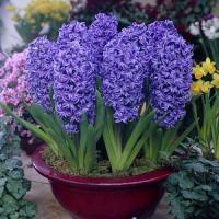 Гиацинт садовый Блу Джиант 3 шт.