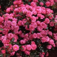 Роза Берлебург