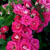 Роза Хайматмелоди