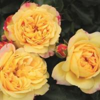 Роза Лампион